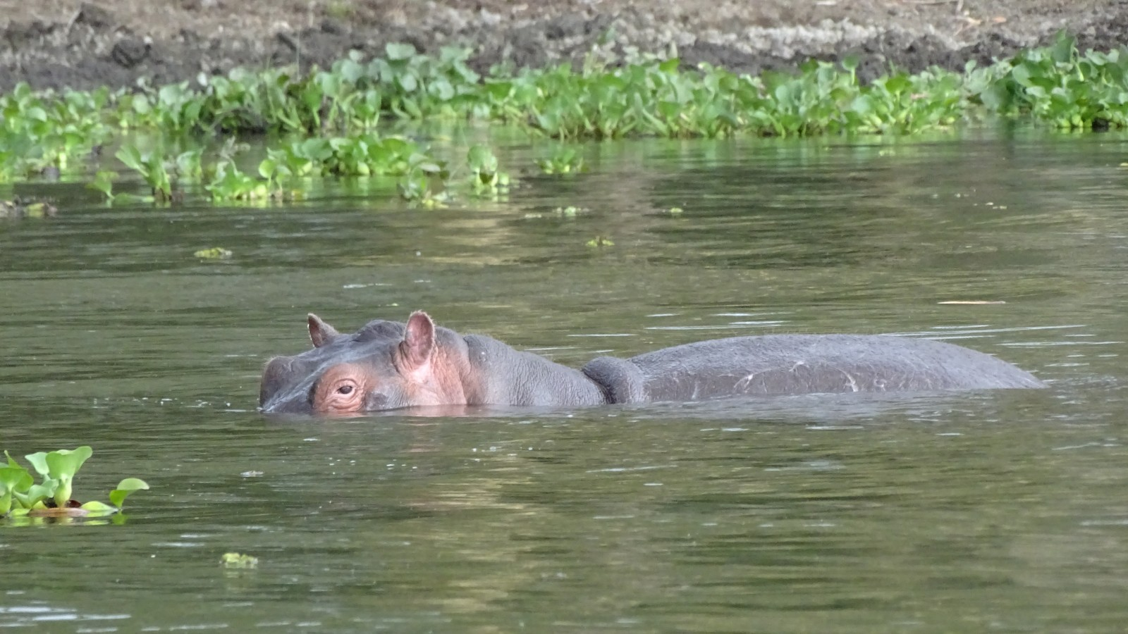 Hippos in Naivasha Kenya